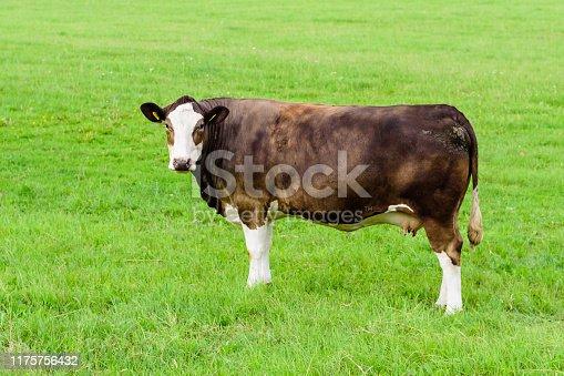 Cow on a green meadow, Saaremaa island, Estonia