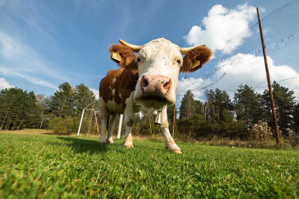 cow on a meadow during summer day - cud stock pictures, royalty-free photos & images