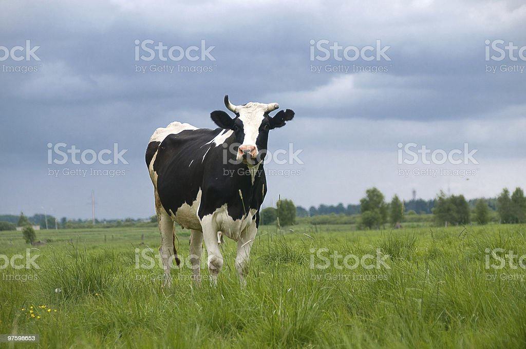 Cow on a meadow royalty-free stock photo
