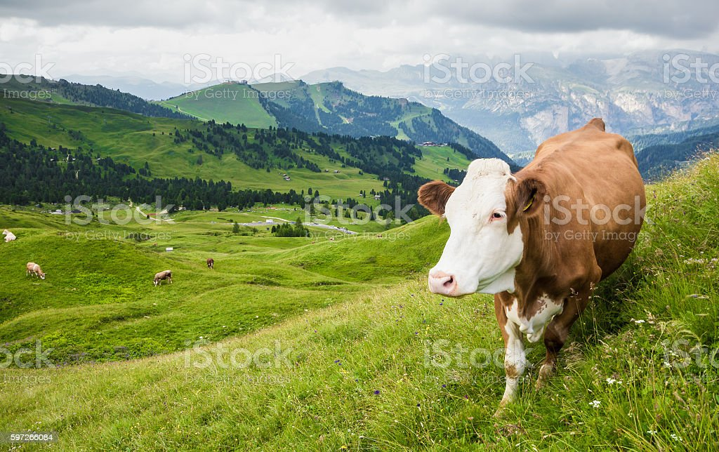 Vache sur un Pâturage de montagne photo libre de droits