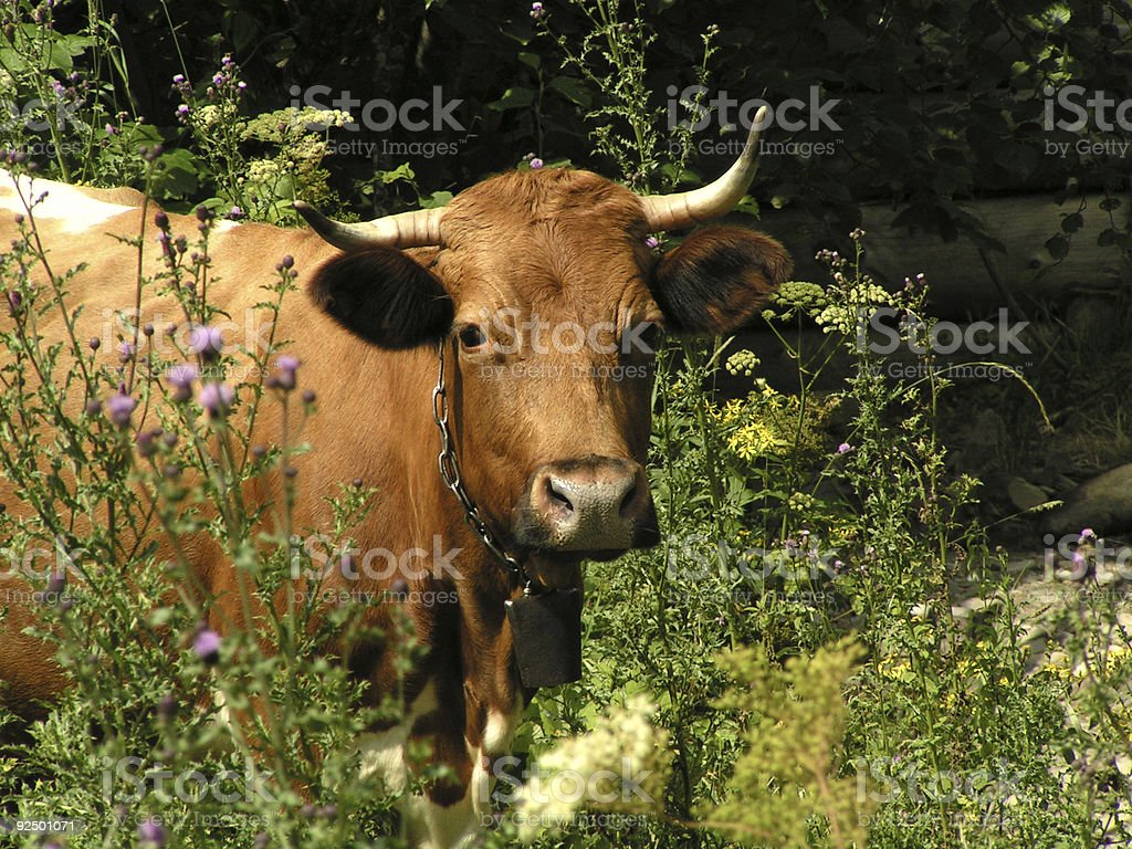Cow on a pasture among wild flowers royalty-free stock photo