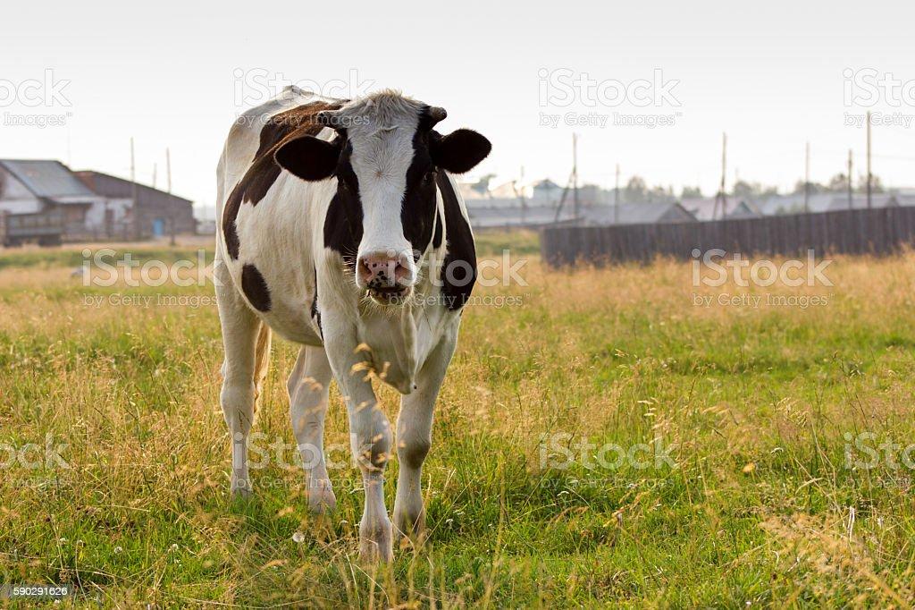 Корова на Пастбище Стоковые фото Стоковая фотография