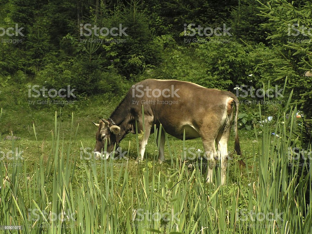 Cow on a pasture royalty-free stock photo