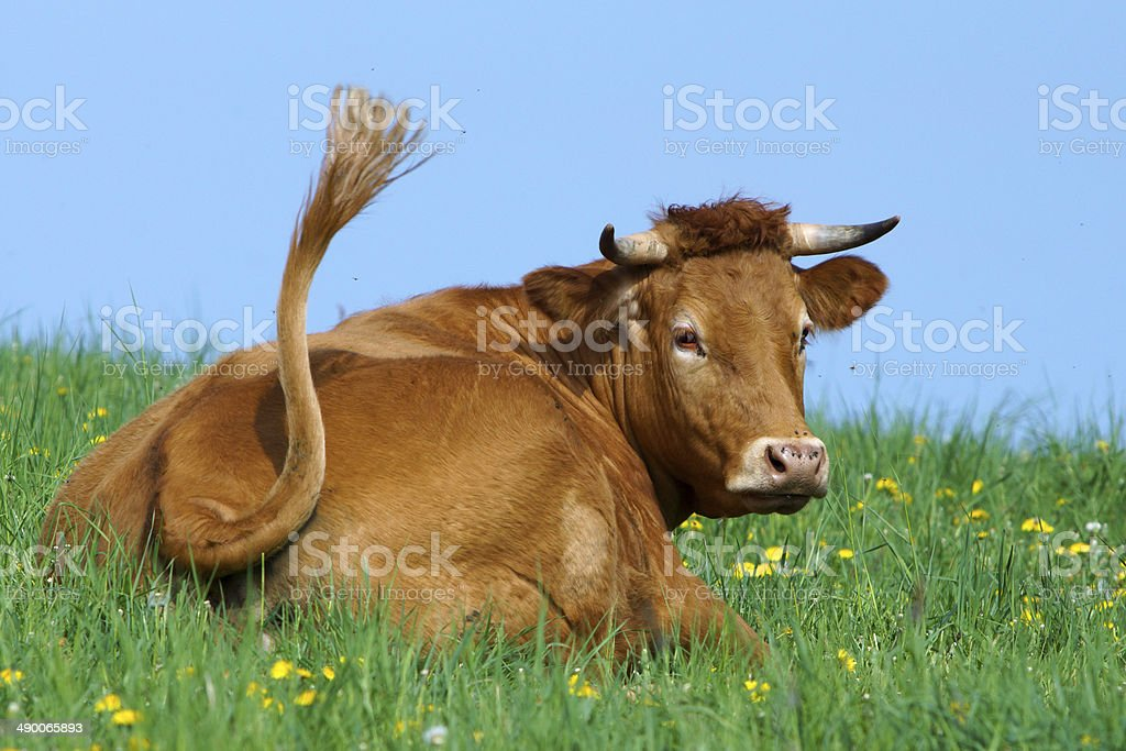 Cow on a spring meadow stock photo