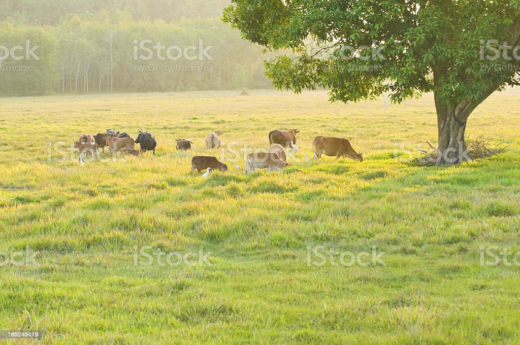Cow on  beautiful sunny landscape royalty-free stock photo