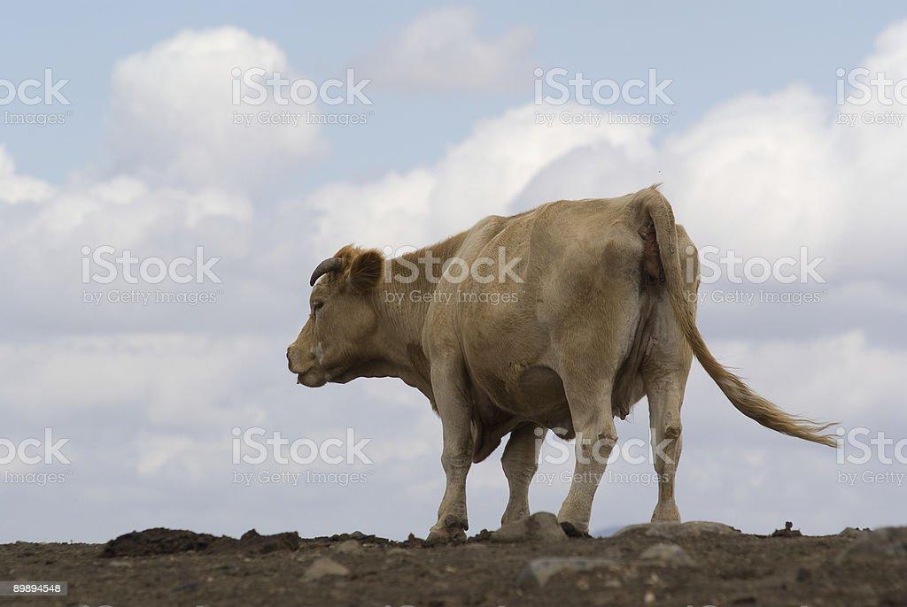 Kuh an einem wolkigen Himmel Hintergrund Lizenzfreies stock-foto