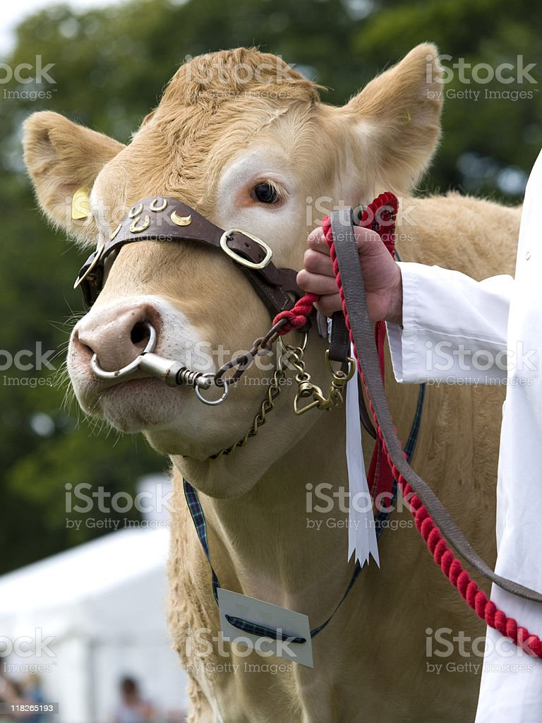 Cow on display in show royalty-free stock photo