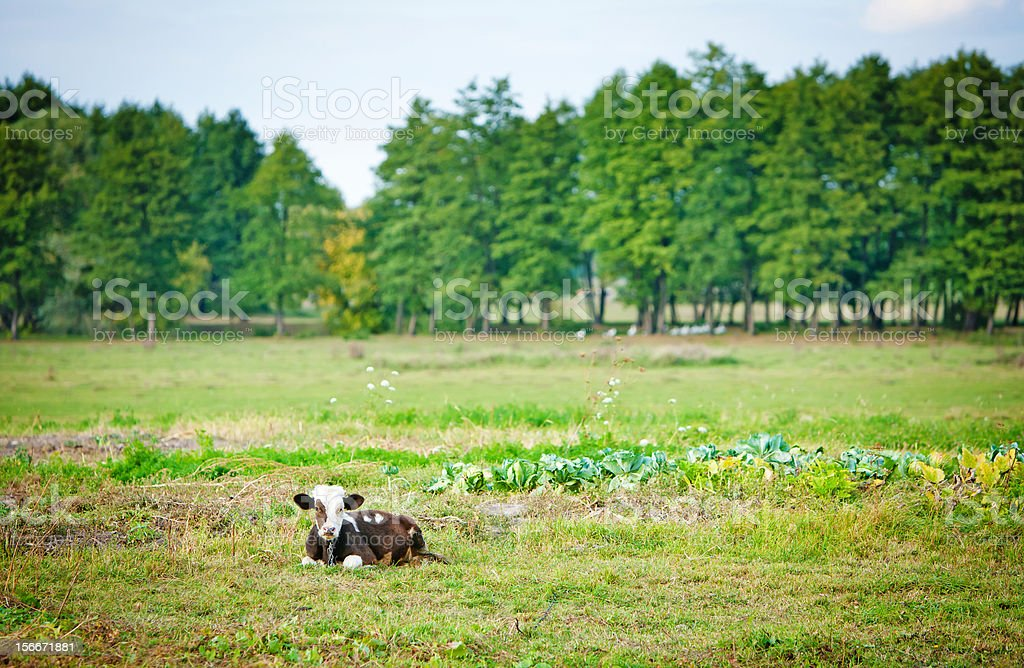 cow on field royalty-free stock photo