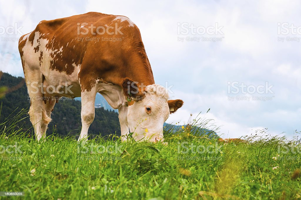 Cow on field stock photo