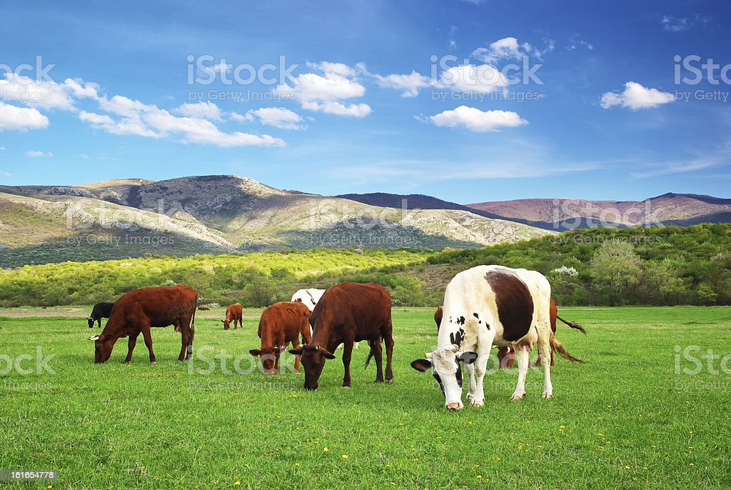 Cow on green meadow. royalty-free stock photo