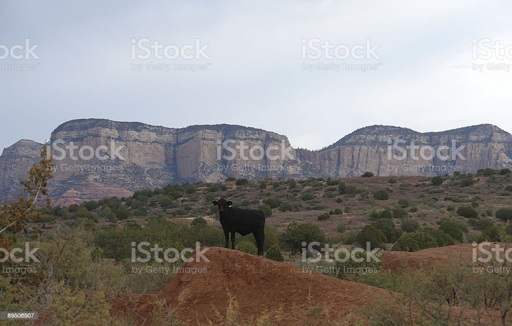 cow on hilltop royalty-free stock photo