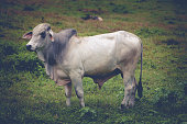 cow on meadow in costa rica, central america.