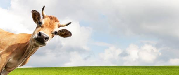 Cow on meadow picture id1124479817?b=1&k=6&m=1124479817&s=612x612&w=0&h=85qh302fubo8g 0jifhlncuvtqhlvw0lm u9qjpkn2o=