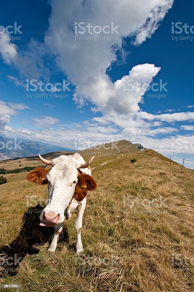 Cow on Monte Baldo with Blue Sky royalty-free stock photo