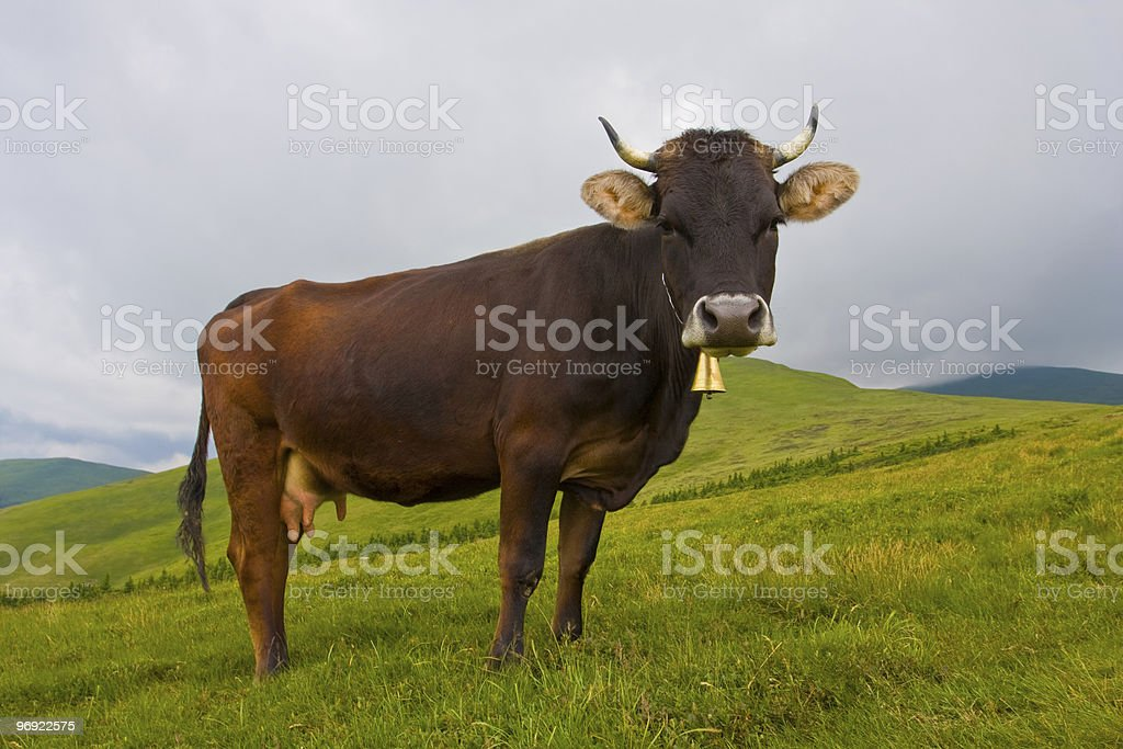 cow on mountain meadow royalty-free stock photo