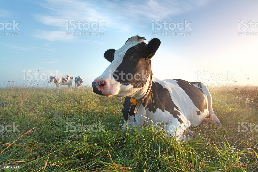 cow on pasture at sunrise stock photo