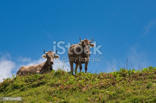 cow on pasture in the alps. Image of the Speer, near Amden in the canton of St.Gallen, Switzerland