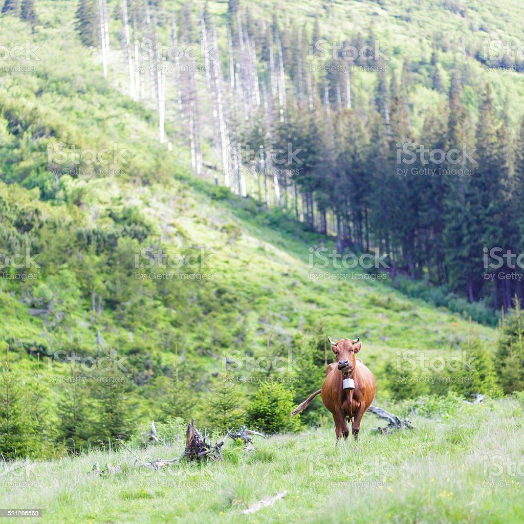 cow on pasture stock photo