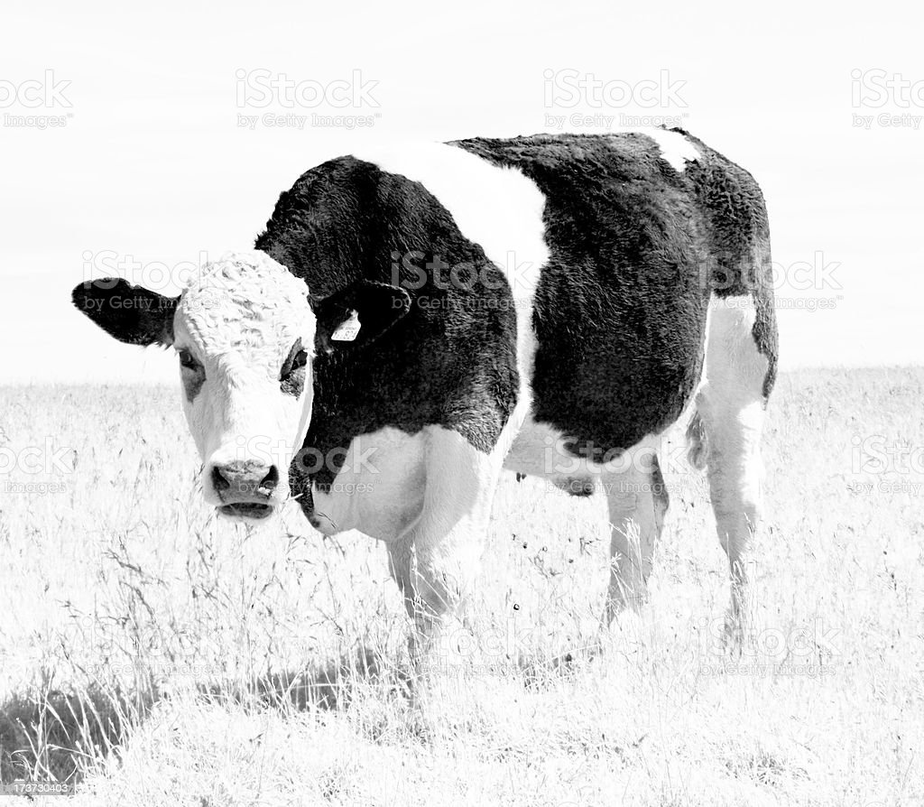 Cow on the Common royalty-free stock photo