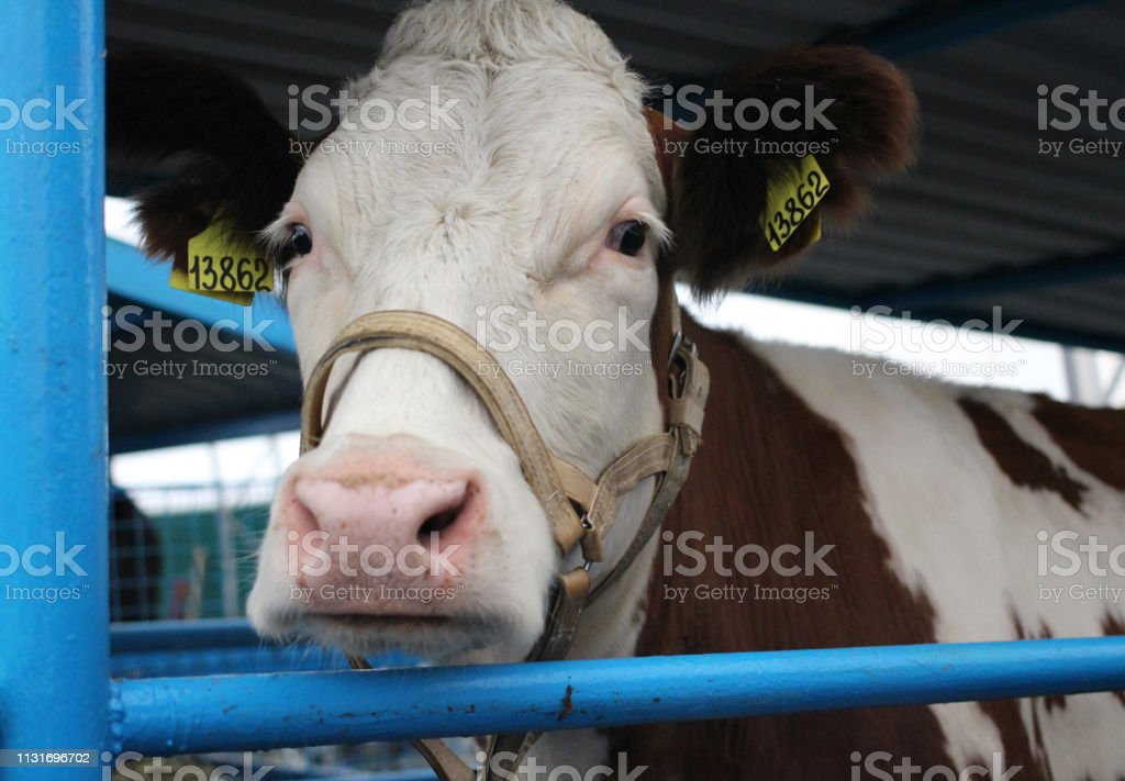 Cow on the farm with veterinary tags in the ears is in the pen animal