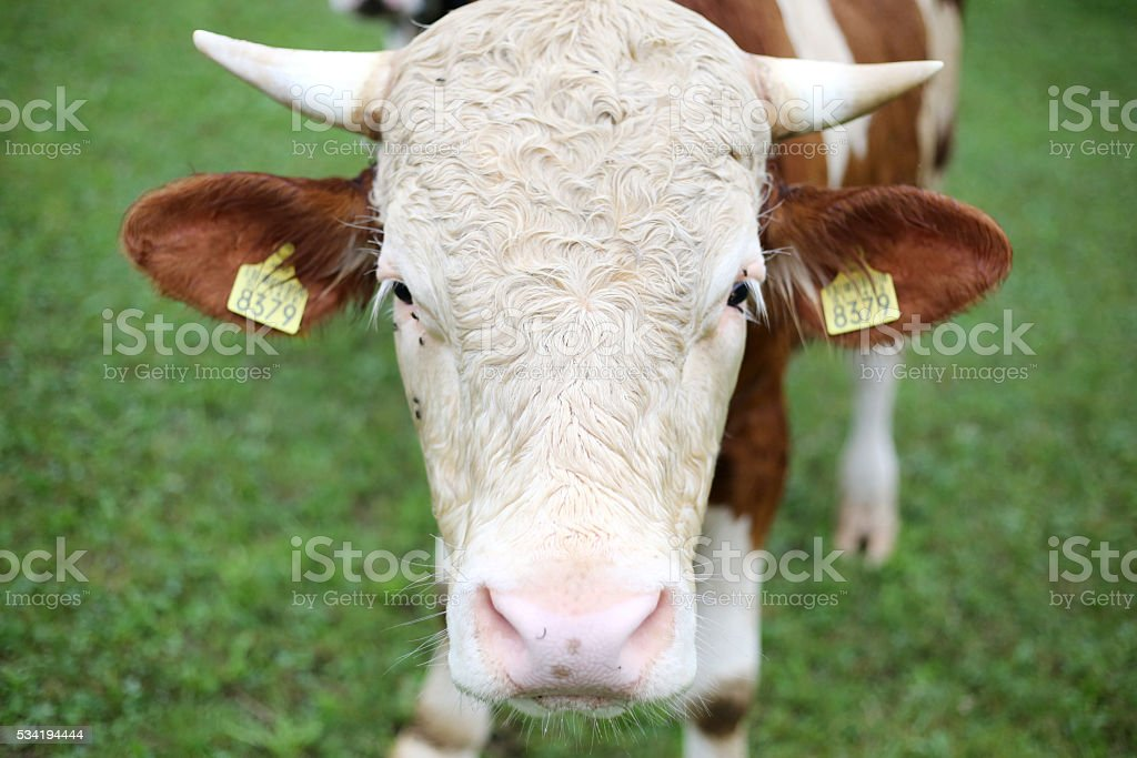 Cow on the field stock photo