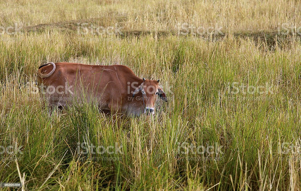 Cow on the field royalty-free stock photo