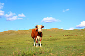 A cow on the grassland