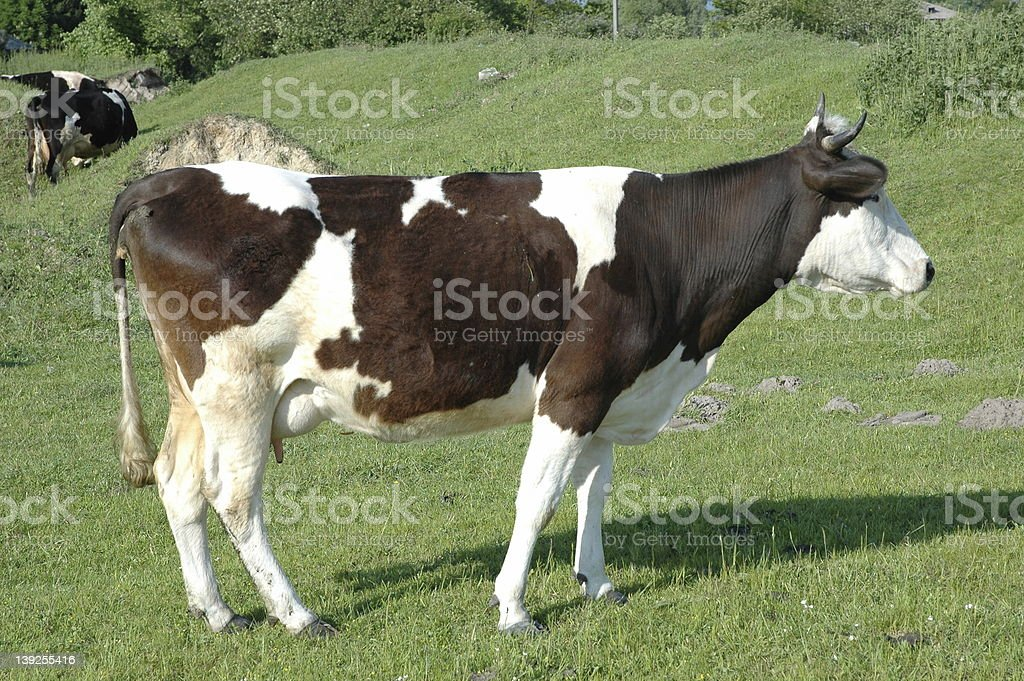 cow  on the green field 2 royalty-free stock photo