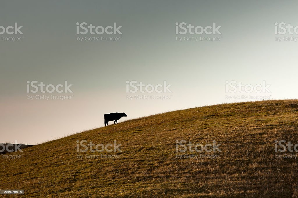 Cow on the hill stock photo
