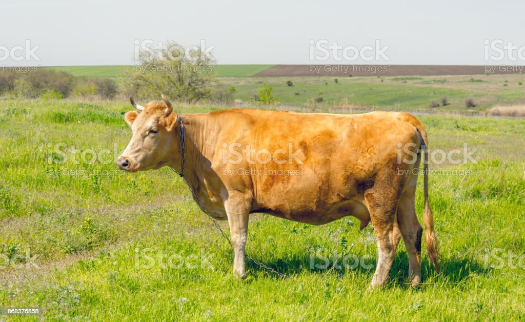Cow on the pasture. Calm countryside landscape stock photo