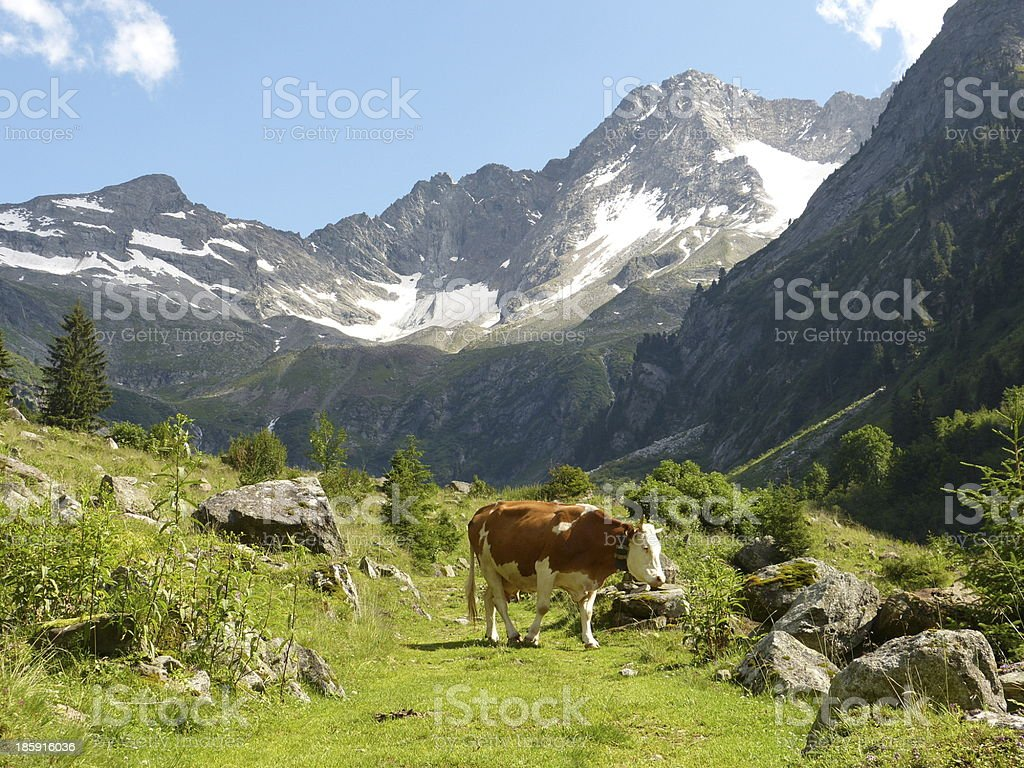 Cow on the pasture royalty-free stock photo