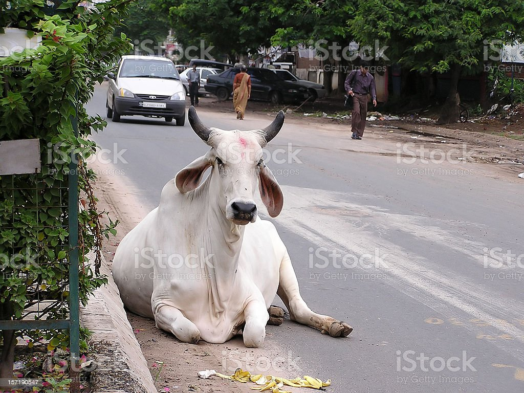 Cow on the road, India stock photo