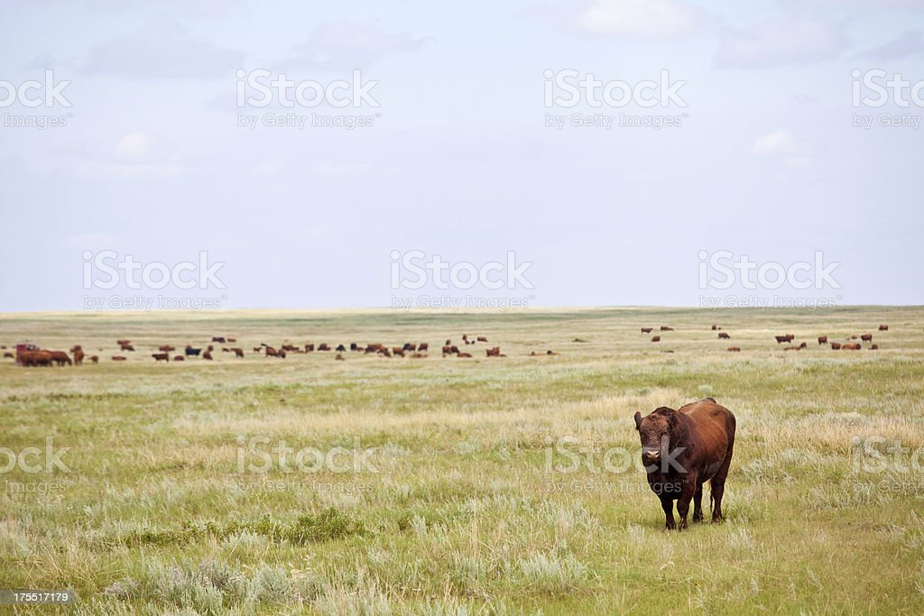 Cow on the Wide Open Plains stock photo