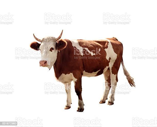 Cow on white background picture id531672983?b=1&k=6&m=531672983&s=612x612&h=l5brf tu1ztu9fqmch9dhzqpzcafnuqrzkt 0eja3rg=