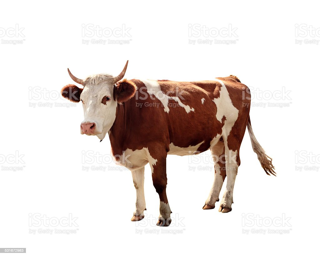 Cow On White Background stock photo
