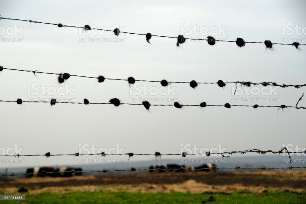 Cow Or Cattle Hair On Barbed Wire Stock Photo & More Pictures of ...