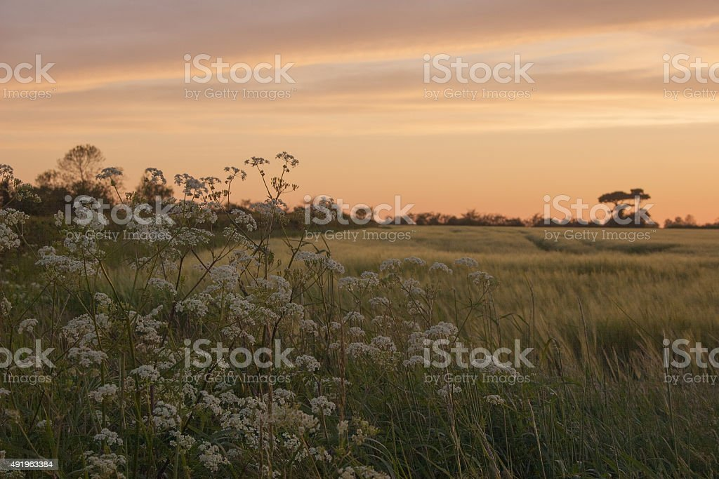 Cow parsley and barley in a Suffolk field at sunset stock photo