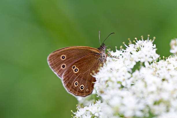 Cow Parsley and Ringlet Butterfly stock photo