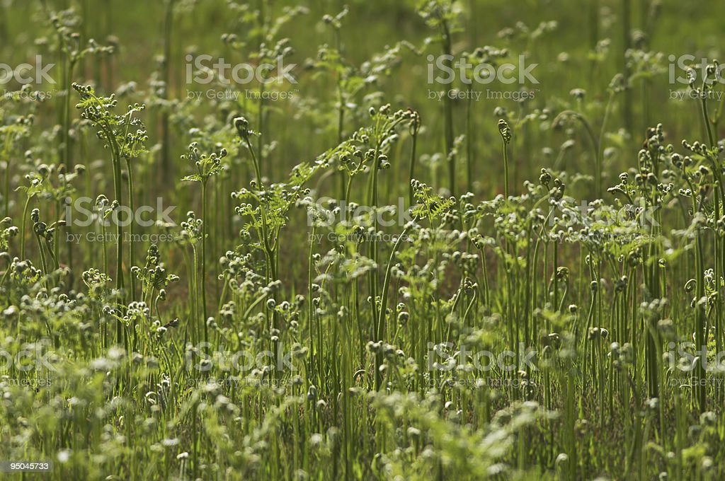 Unusual green texture developing cow parsley plants stock photo