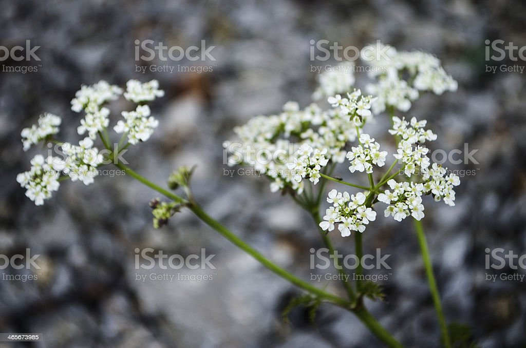 Cow parsley flower (Anthriscus sylvestris) stock photo
