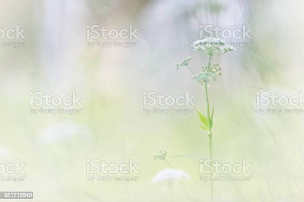 Cow parsley in the meadow picture id921715540?b=1&k=6&m=921715540&s=612x612&h=dx8hoxy4zu8jhx4o4wqgp6wxkemc36gnq9qglhyutf4=