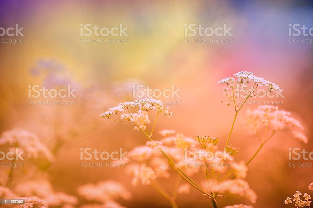 Cow parsley, meadow flowers stock photo
