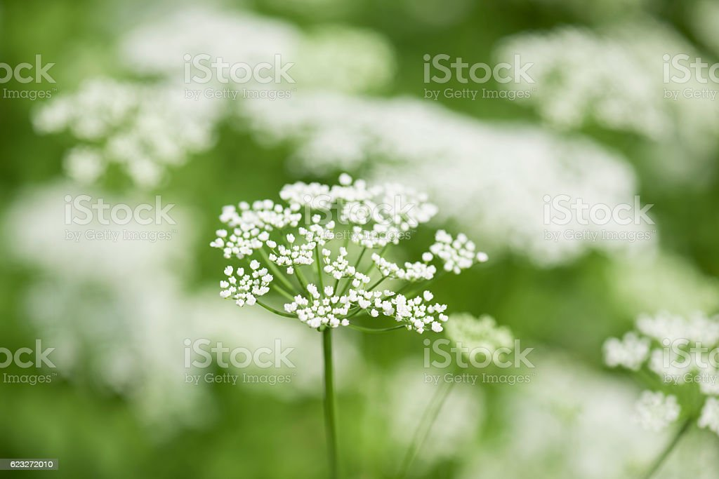 Cow parsley or Anthriscus sylvestris stock photo