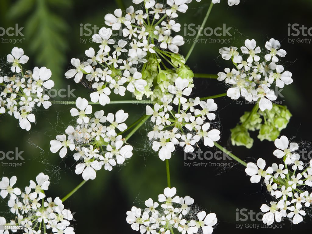 Cow Parsley or Wild Chervil, Anthriscus sylvestris, flower clusters macro stock photo