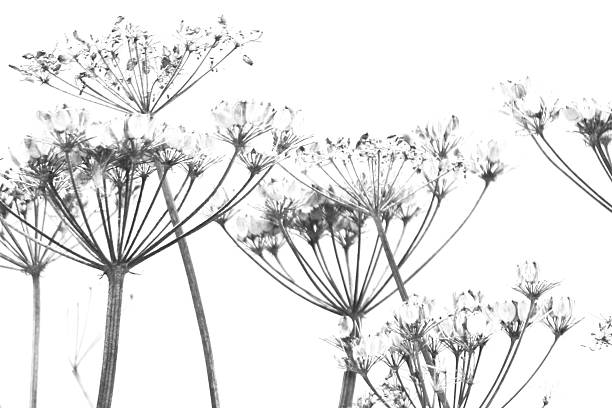 Cerfeuil sauvage Umbels - Photo