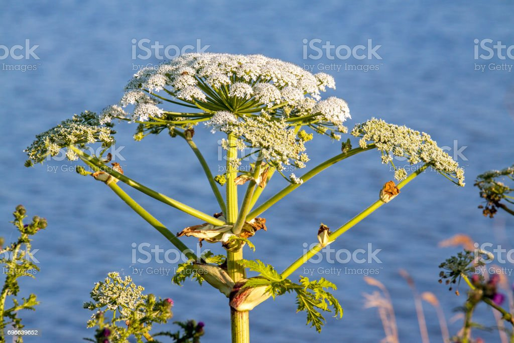 Cow Parsnip flower on lakeside stock photo
