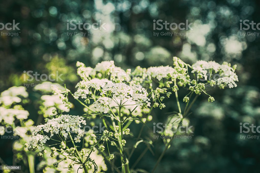 Cow parsnip in the forest stock photo