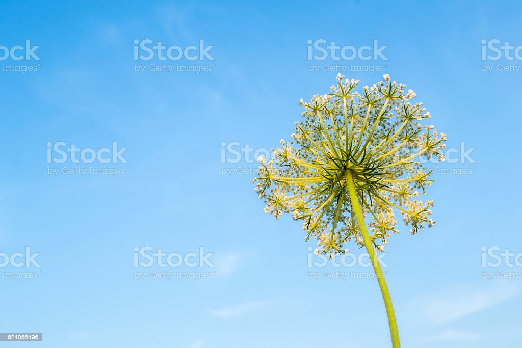 Cow parsnip on sky background. stock photo