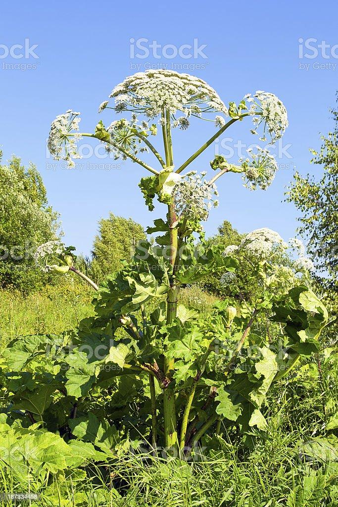 Cow parsnip plant stock photo