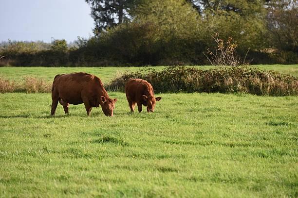 Cow pasture in Washington state stock photo
